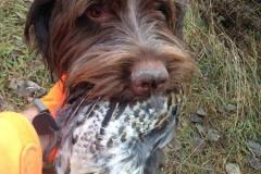 Tucker grouse retrieve 2016